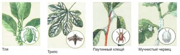 """Цветок """"Женское счастье"""" - болезни и лечение"""