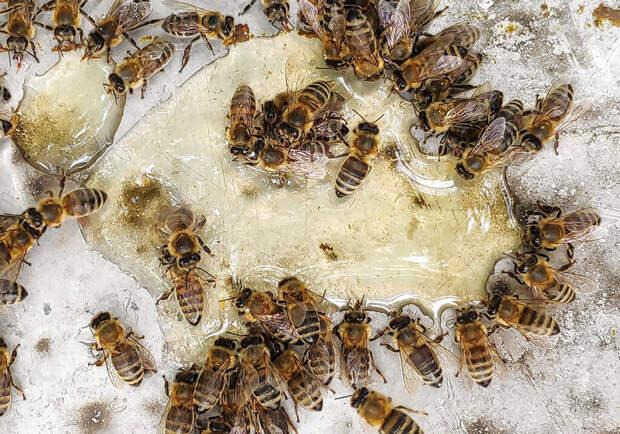 Как муравьи и пчелы борются с эпидемиями — и чему мы можем у них научиться