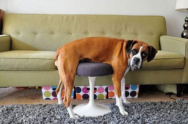 25 домашних животных, которые понятия не имеют, как работает мебель