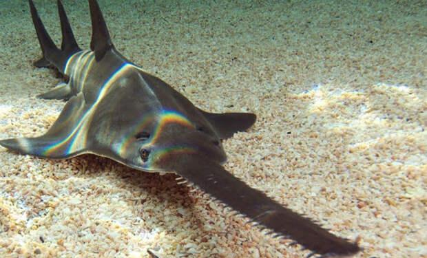 5-метровый хищник с телом акулы и носом-пилой
