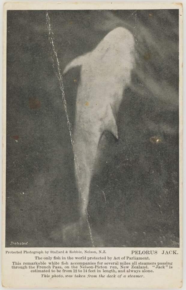 Пелорус Джек. Открытка с фотографией дельфина. Кадр сделал К.Ф. Пост в 1909 году. Фото из свободных источников.
