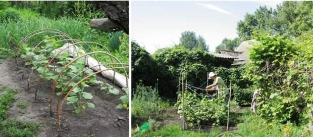 Огурцы, высаженные под утеплитель(арговолокно+пленка) двухнедельной рассадой в средине апреля, после окончания майских заморозков привязываются к шпалеркам