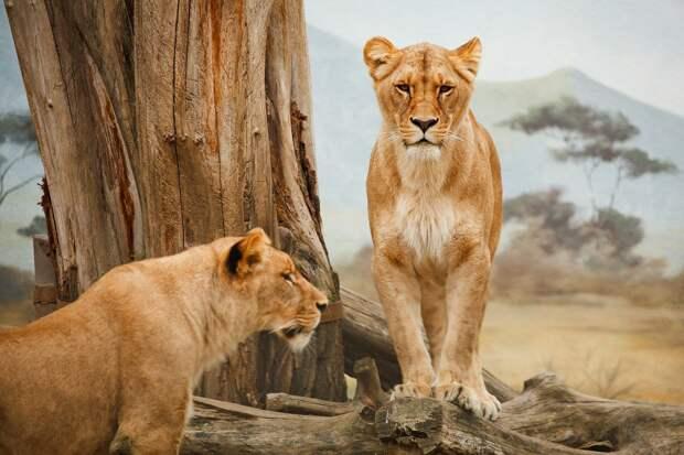 В ЮАР две львицы растерзали спасшего их хозяина