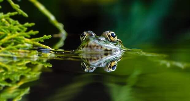 Плавунцы способны «пройти» сквозь лягушку за6 минут