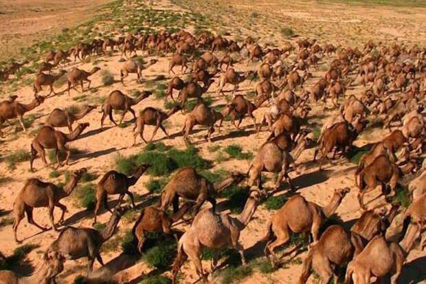 Подобные фото создают ощущение перенаселенности австралийских пустошей верблюдами. На практике их там не так много — просто они сбиваются в крупные компактные группы, которые постоянно перемещаются / ©Wikimedia Commons