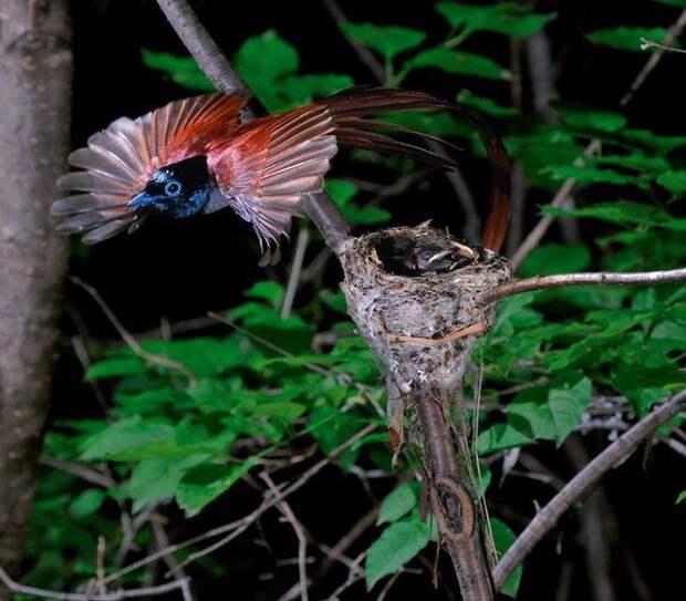 Райская птица – красавица родом из России