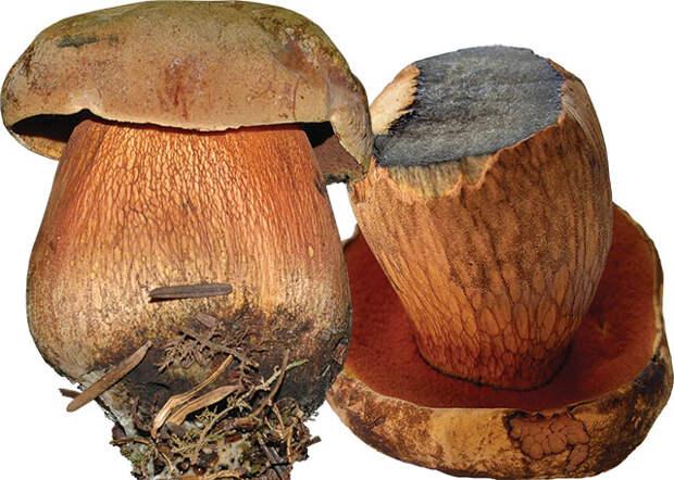 От белых до маслят. Какие грибы считаются самыми вкусными