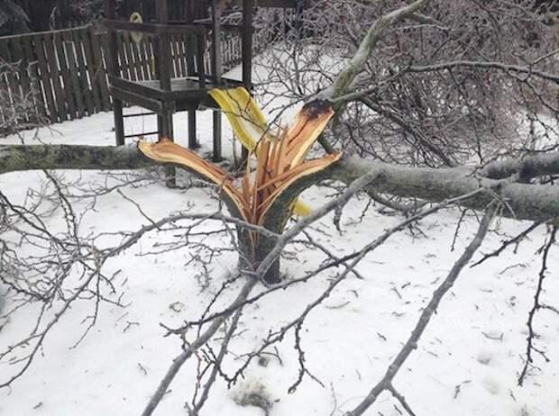 15. Дерево, расколотое снежной бурей на три части археология, дача, находки, удивительное рядом