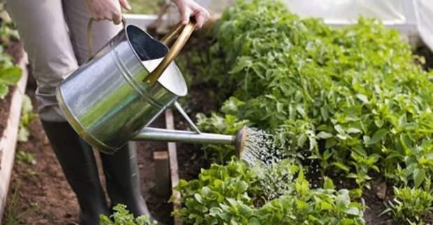 Как правильно поливать грядки — утром или вечером?