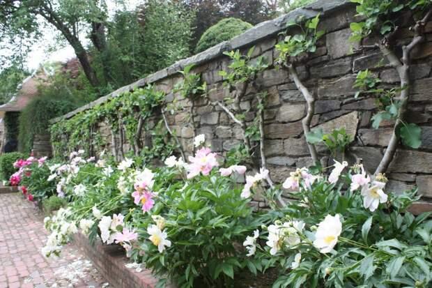 Пионы: советы по посадке и уходу для пышного цветения