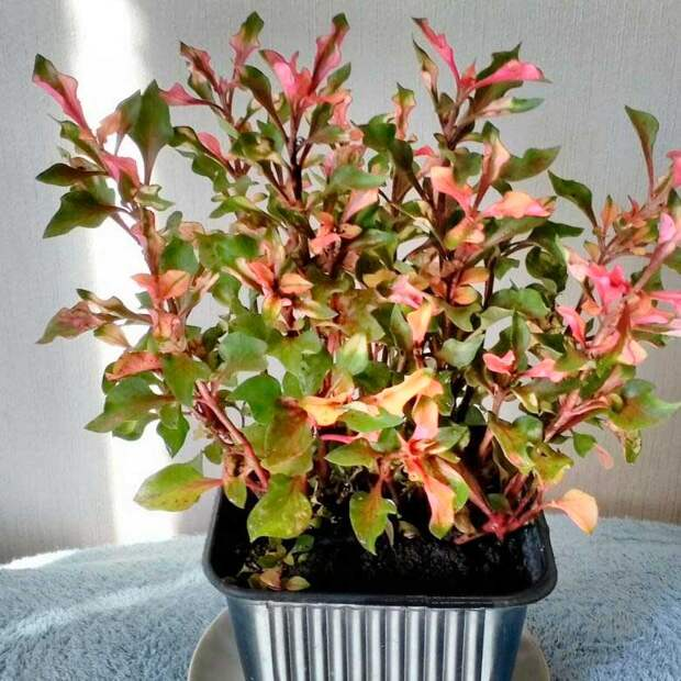 Комнатное растение Альтернантера (Alternanthera)