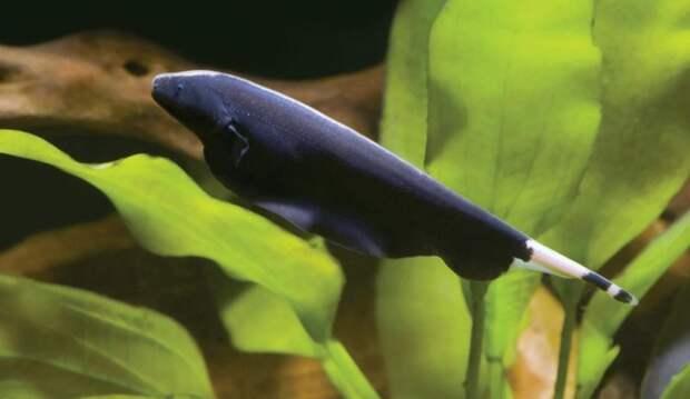 Чёрная ножетелка аквариумные рыбки, животные, необычные рыбы, рыбы