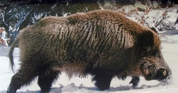 Выживание в лесу – правила поведения при встрече с диким кабаном