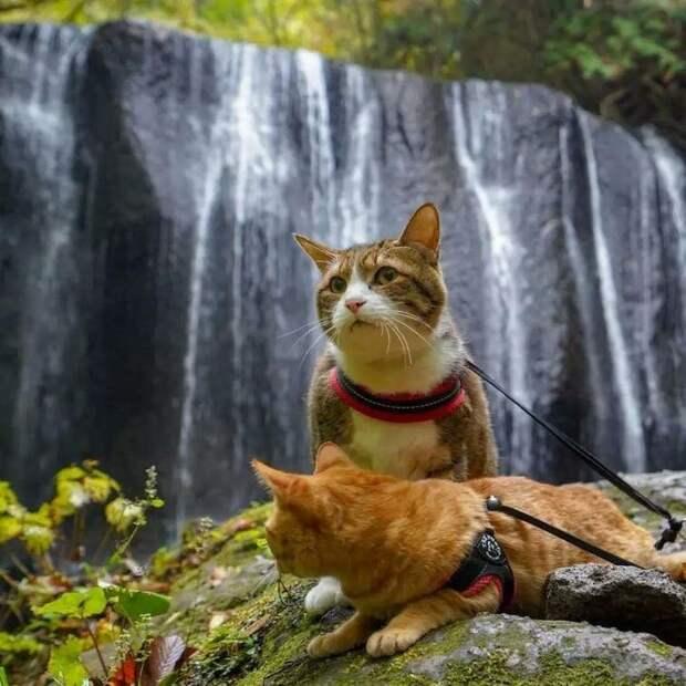Все началось в 2011 году, когда из-за своей работы владелец котеек Нагасава часто отсутствовал, и Фуку-чан очень по нему скучал в мире, домашний питомец, животные, кошки, люди, природа, путешествие