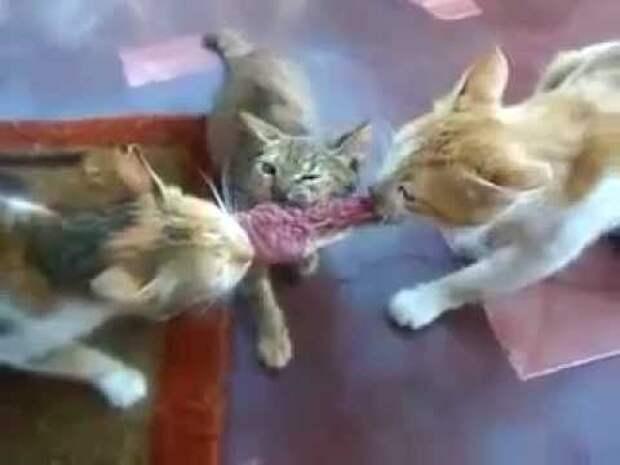 Коты - борьба за добычу