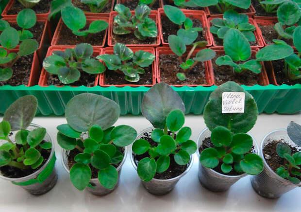 Размножение мини фиалок листом. Особенности выращивания
