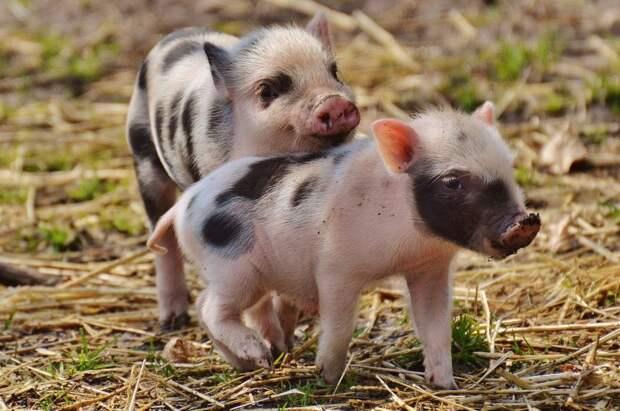 Свинки знают свои имена.