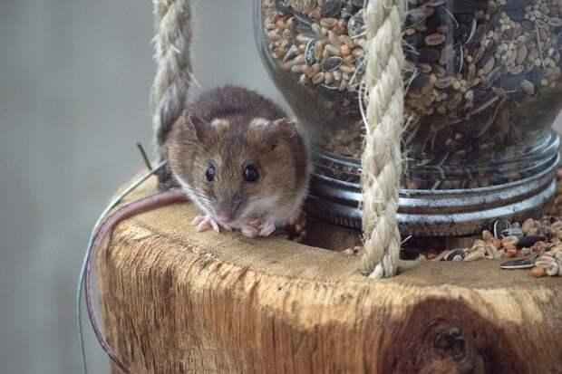 48 человек заразились мышиной лихорадкой в Удмуртии с начала года