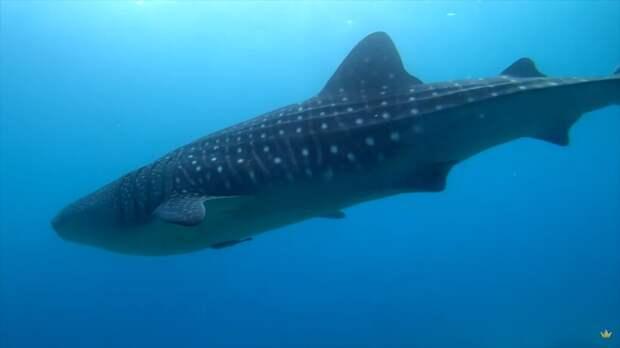 Китовая акула приплыла к рыбакам за помощью, а затем необычным образом поблагодарила