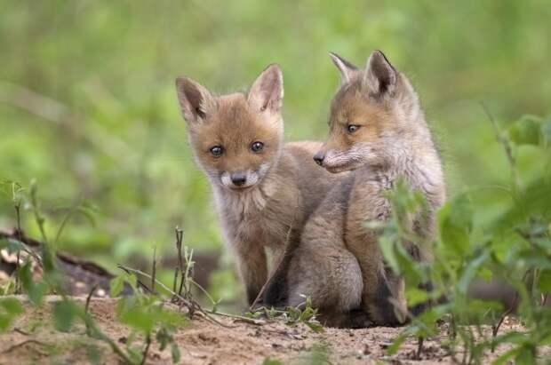 Если родной отец лисят погибает, другой самец усыновляет их.