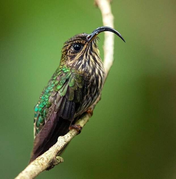 Орлиноклювый колибри