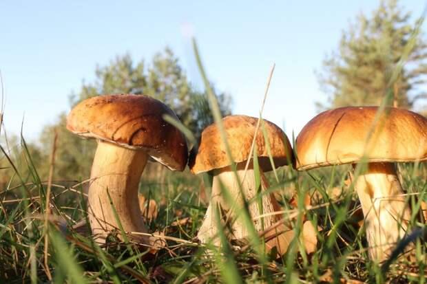 Грибной сезон продолжается с новой силой. Белые грибы и опёнок толстоногий