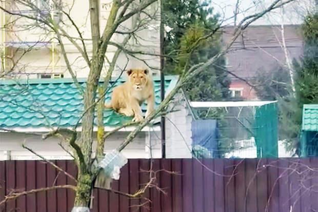 Жители Одинцова пожаловались на львицу, гуляющую по крыше соседского дома