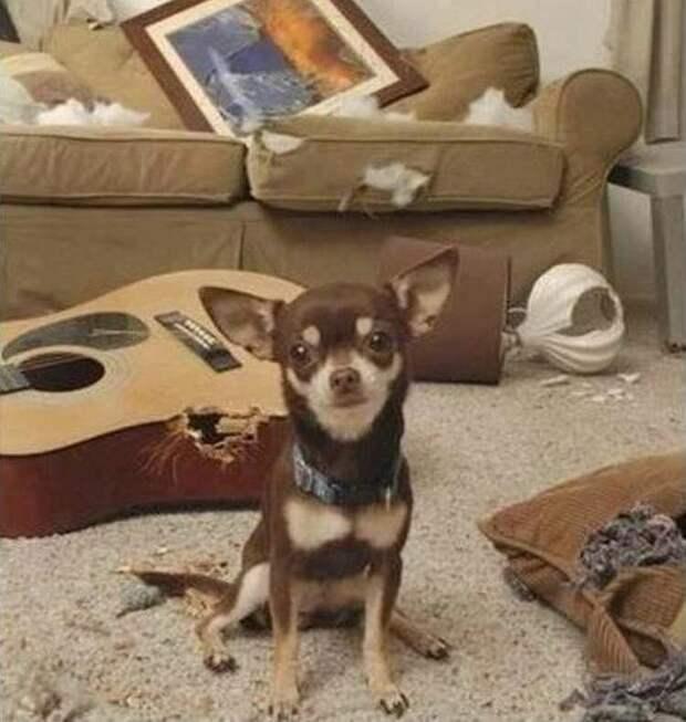 Играют музыку домашний питомец, животные, подборка, прикол, собака, юмор
