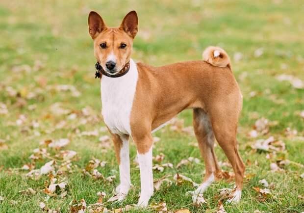 Удивительные собаки родом из Центральной Африки совершенно не лают и умываются лапой, совсем как кошки. /Фото: petstime.ru