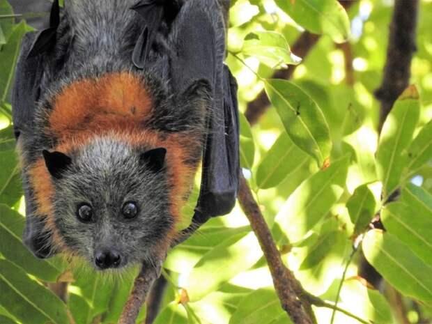 Индийские медики опасаются вспышки найденного у местных летучих мышей вируса