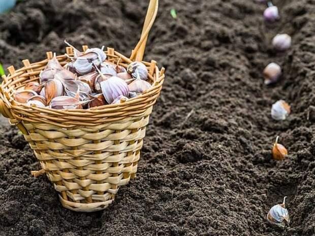 5 особенностей внесения удобрений для чеснока
