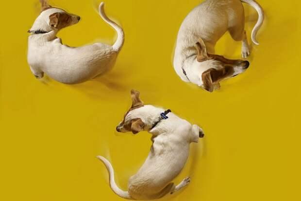 собаки гоняются за своими хвостами