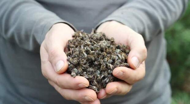 Вымирающие пчелы стремительно приближают конец света
