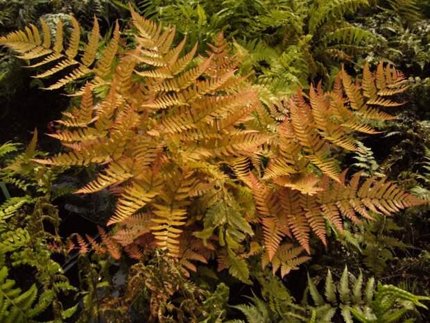 Щитовник красносорусовый: красавец с медными листьями