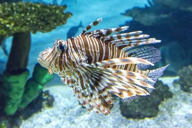Крылатка аквариумные рыбки, животные, необычные рыбы, рыбы