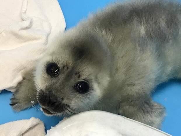 В Выборгском заливе тюлененок едва не погиб из-за куска пенопласта