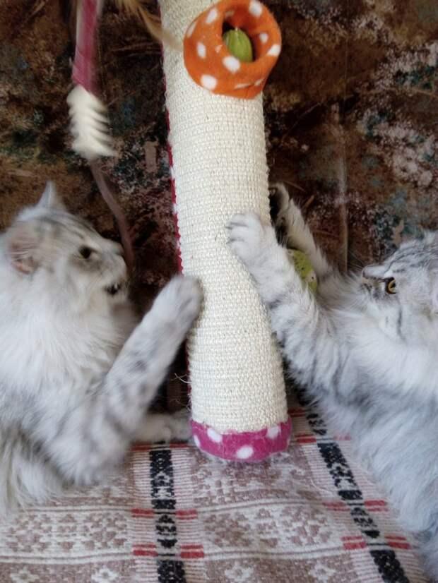 Больные котята грустно смотрели на прохожих волонтер, история, котята, кошки, персы, приют