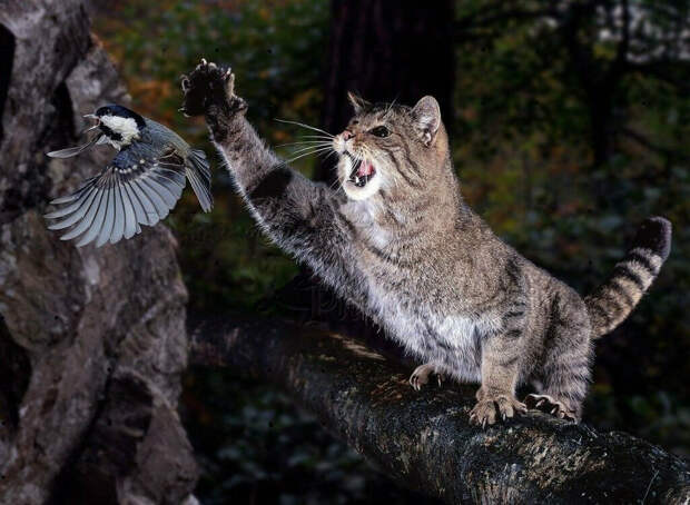 Дикий лесной кот.