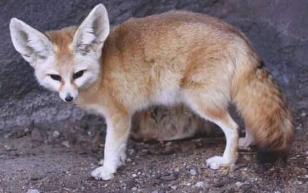 Фенек (Vulpes zerda)