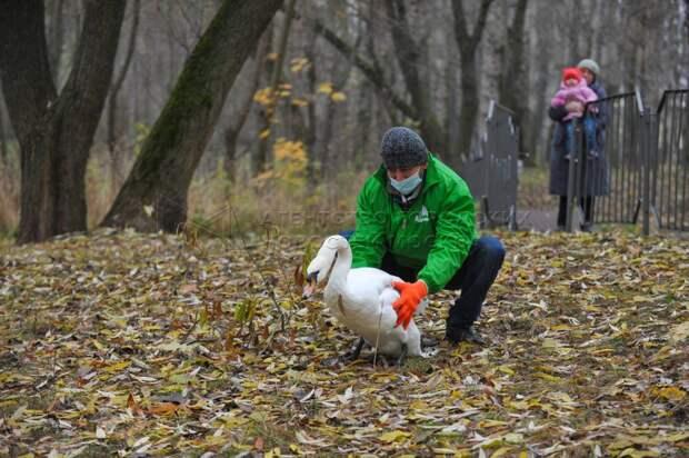 Ландшафтному парку «Митино» подарили четырех лебедей