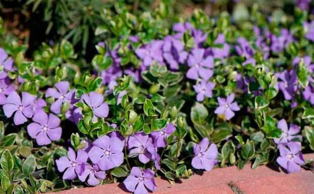 Лекарственное растение Барвинок малый (Vinca minor)