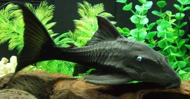 Pleco аквариумные рыбки, животные, необычные рыбы, рыбы