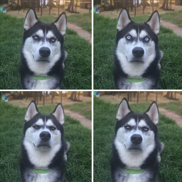 Сибирский хаски Ануко ненавидит Рождество и показывает это всем своим видом выражение, животные, морда, рождество, собака, хаски