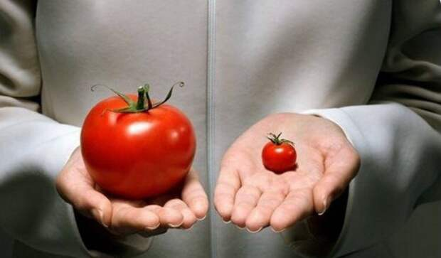Как определить помидоры с ГМО
