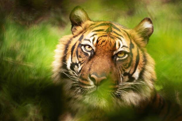 Тигрица оккупировала деревню в Индии и ранила двух человек