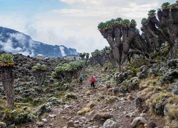 Dendrosenecio (giant groundsel) on the way to Mount Kilimanjaro