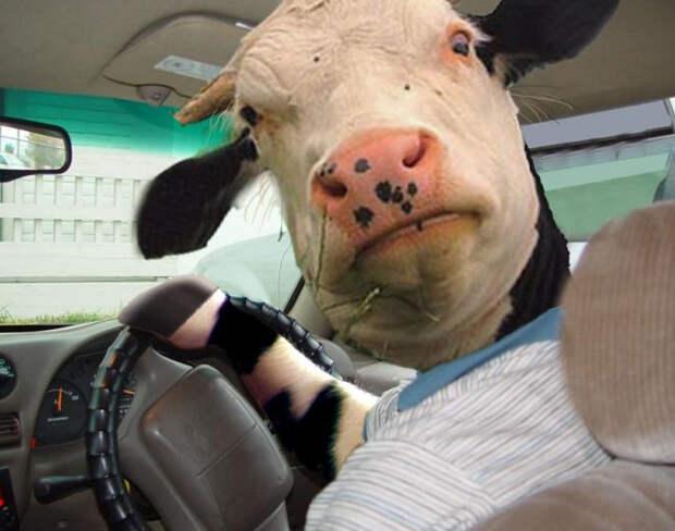 Нарушившие ПДД коровы заплатили штраф