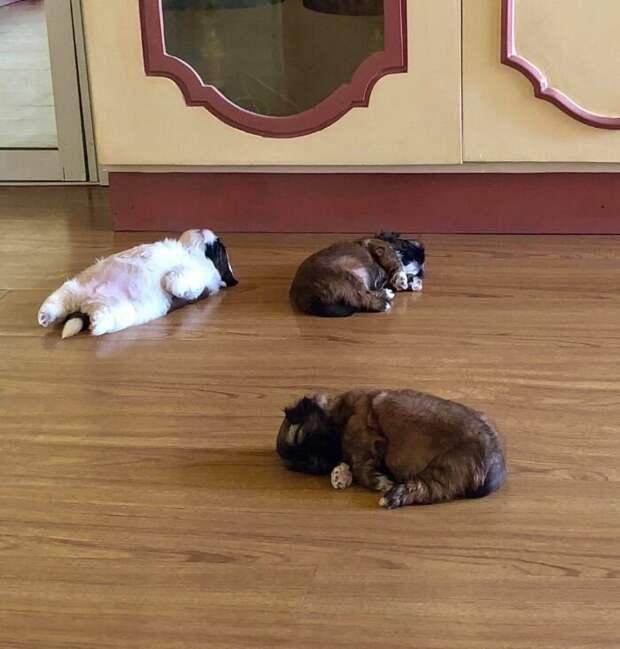 """Устал и прилёг: щенок, который умеет """"отрубаться"""" по-настоящему вирусные фото, герой соцсети, забавная собачка, забавные животные, необычно, смешная собака, собака, фото собак"""