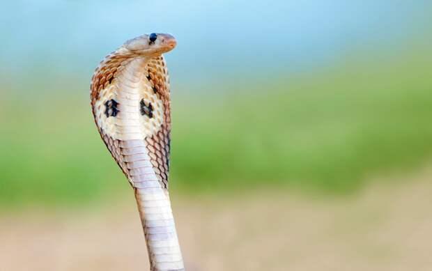 Королевская кобра, фото