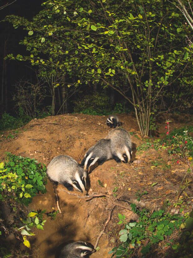Ночные игры барсучат у выводковой норы. Снимок сделан в октябре; к этому времени молодняк по размерам сопоставим со взрослыми животными.